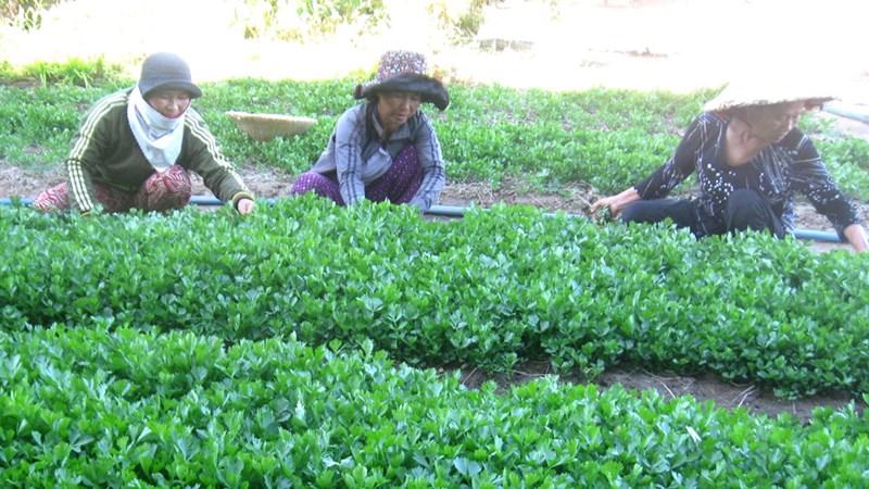 Phú Yên: Rau sạch tiêu chuẩn VietGAP khó tiêu thụ?