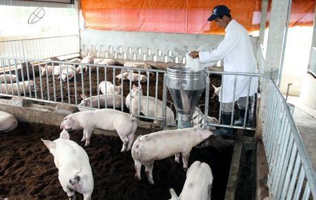 Giảm mạnh Salbultamol trong chăn nuôi