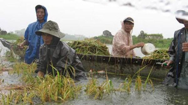 Khắc phục thiệt hại về lúa và hoa màu trong bão số 1