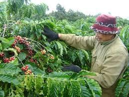 Xuất khẩu cà phê có thể đạt trên 3 tỷ USD