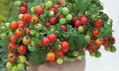 Những chậu rau quả