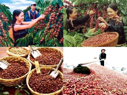 Xuất khẩu cà phê dự kiến hơn 3 tỷ USD: Vẫn khó lạc quan