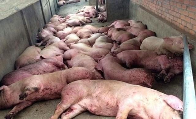 """Dịch tả lợn châu Phi vẫn chưa có dấu hiệu """"hạ nhiệt"""" tại Hà Nội"""