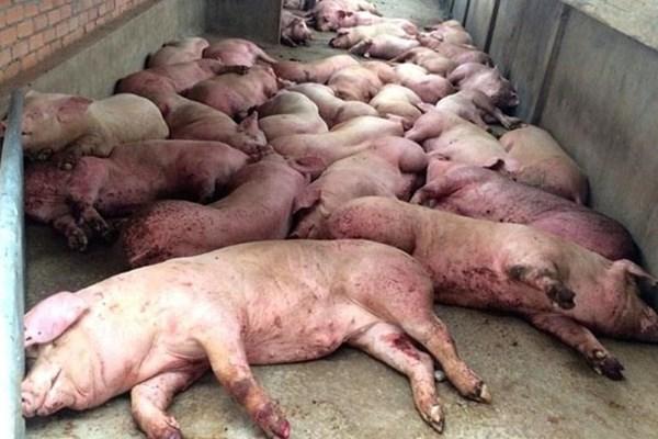 Dịch tả lợn châu Phi đã lan ra 55 tỉnh, thành