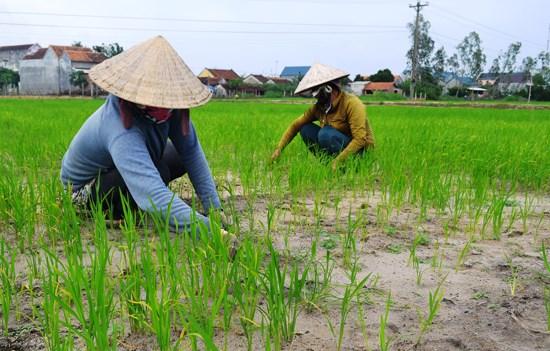 Quy định về chuyển đổi cơ cấu cây trồng trên đất trồng lúa
