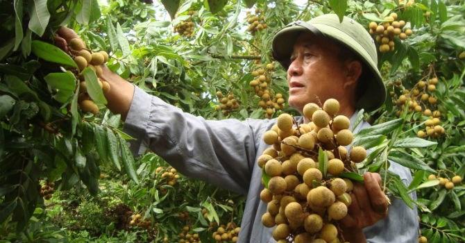 Nhãn tươi Việt Nam có cơ hội vào thị trường Australia