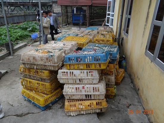 Hải quan Lào Cai bắt 2 tấn gà thương phẩm nhập lậu
