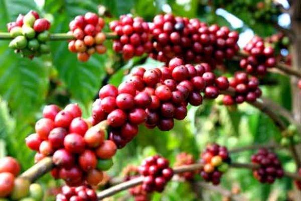 """Đảm bảo cây cà phê thực sự là """"đòn bẩy"""" phát triển kinh tế Tây Nguyên"""