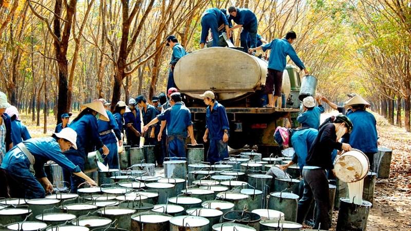 Xuất khẩu cao su thiên nhiên của Việt Nam xếp thứ 3 thế giới
