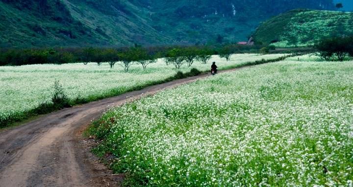 Ngắm cánh đồng hoa tam giác mạch đẹp đến nao lòng