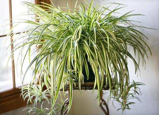 Cây trồng trong nhà mang lại tài lộc và sức khỏe năm mới - Ảnh 4.