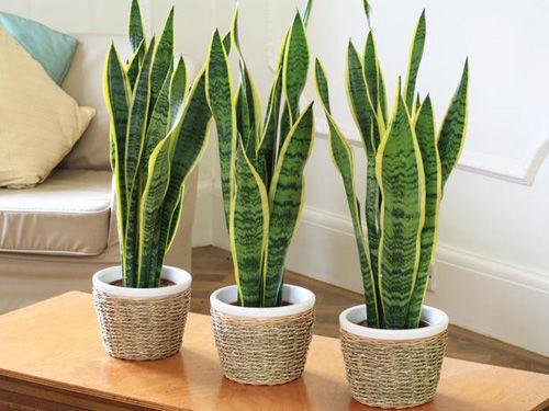 Những loại cây trồng trong nhà tốt cho sức khỏe - Ảnh 1
