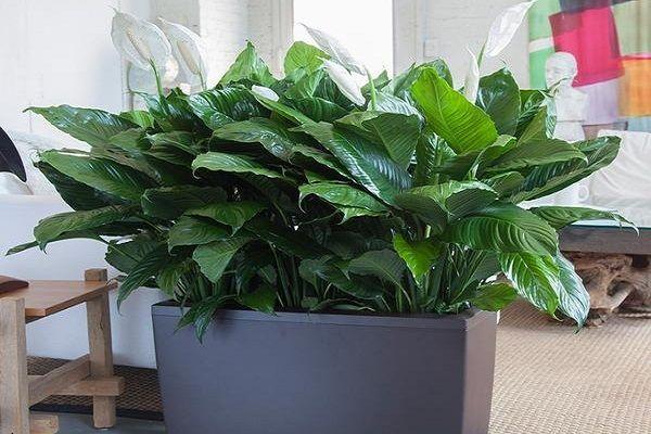 Những loại cây trồng trong nhà tốt cho sức khỏe - Ảnh 2