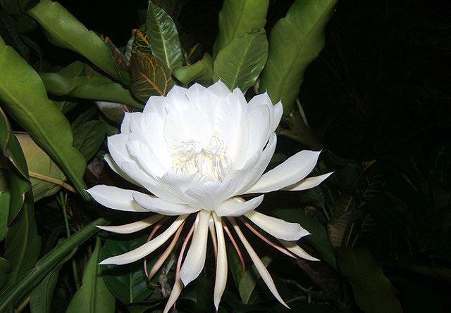 Top 5 loài hoa đắt đỏ nhất hành tinh - Ảnh 5