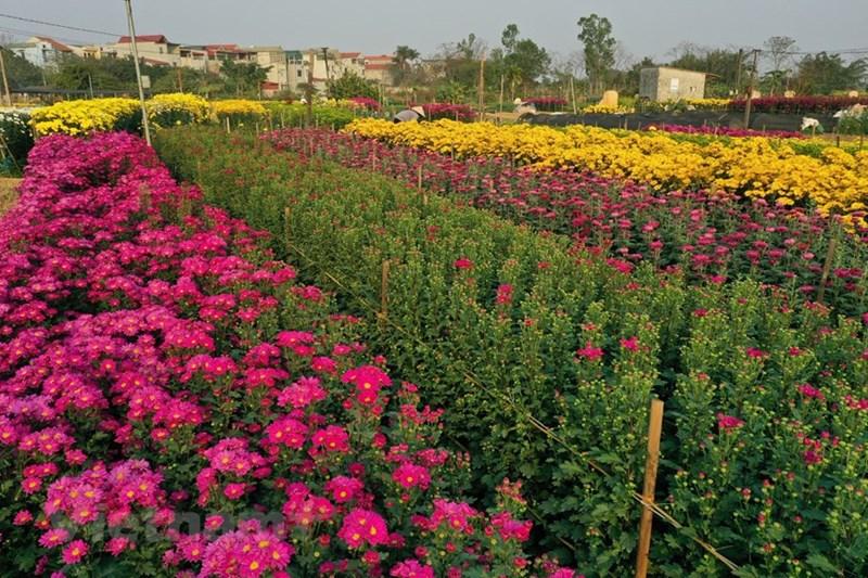 Nghề trồng hoa đã được người dân nơi đây ưu tiên lựa chọn cho bài toán chuyển dịch cơ cấu cây trồng, giải quyết việc làm cho lao động địa phương.
