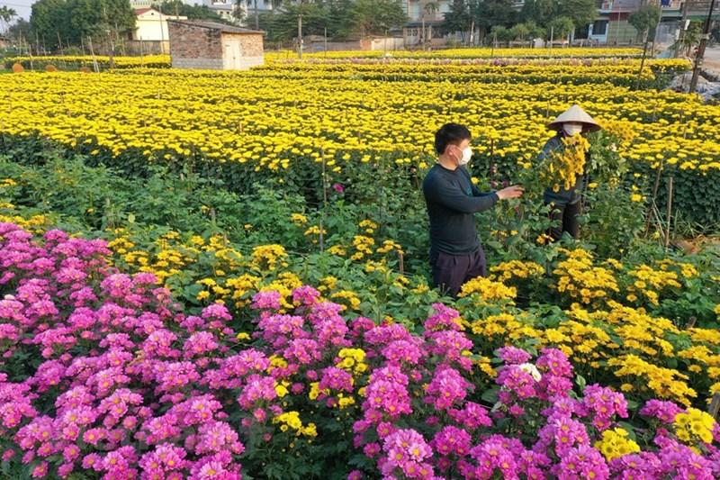 Vụ hoa Tết, sau khi trừ các khoản chi phí, mỗi hộ dân có thể thu lãi cả trăm triệu đồng.