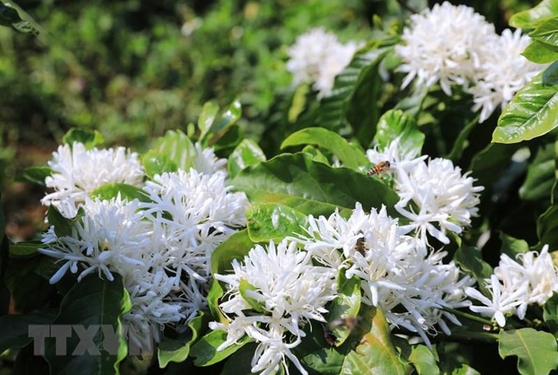 Hoa càphê trắng muốt có mùi hương ngọt ngào. (Ảnh: Thành Đạt/TTXVN)