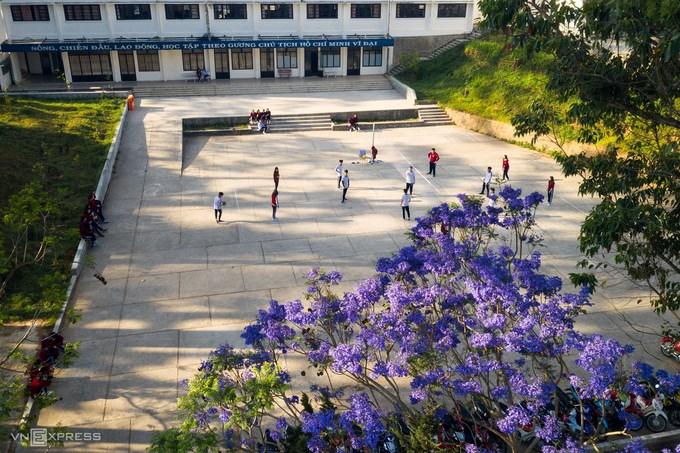 Một số trường học tại Đà Lạt cũng trồng phượng tím. Trong ảnh là cây phượng tím của trường THPT chuyên Thăng Long, trên đường Trần Phú.