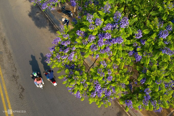 Một đoạn đường Nguyễn Văn Cừ được tô điểm bởi sắc hoa và ánh nắng tháng 3. Phượng tím có nguồn gốc từ Nam Mỹ. Những cây đầu tiên được trồng tại Đà Lạt do công của cố kỹ sư Lương Văn Sáu. Ông là một trong những kỹ sư canh nông thế hệ đầu tiên của Việt Nam được đào tạo chính quy chuyên về hoa, tốt nghiệp Trường Canh nông Versailles ở Pháp.