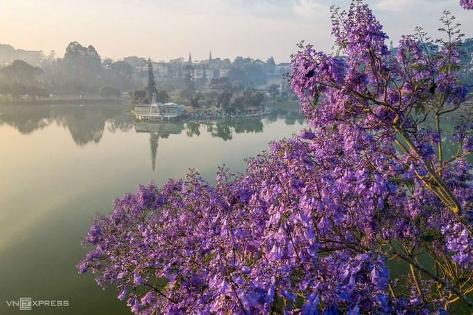 Hoa bung nở ven bờ hồ Xuân Hương. Hồ nước này được xem như một biểu tượng của Đà Lạt, nằm tại trung tâm thành phố. Xung quanh hồ có rừng thông, các bãi cỏ và nhiều vườn hoa.