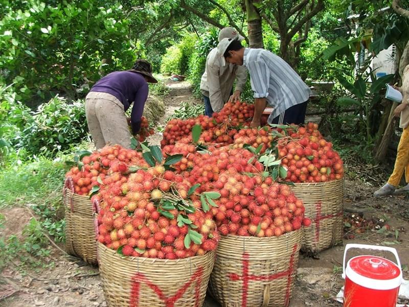 Nông dân xã Bình Hòa Phước, huyện Long Hồ, tỉnh Vĩnh Long thu hoạch chôm chôm. (Ảnh chụp trước ngày 27-4-2021).