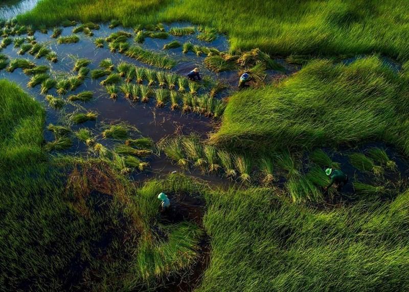 Vào khoảng tháng 7 - tháng 10 âm lịch hàng năm, con nước từ thượng nguồn sông Mekong lại đổ về tạo thành một biển nước tràn đồng. Nhiếp ảnh gia Phạm Huy Trung (TP HCM), đã thực hiện bộ ảnh về mùa nước nổi miền Tây trong 3 năm qua. Trên hình là người nông dân lội nước thu hoạch trên cánh đồng năng ở Tháp Mười, Đồng Tháp.