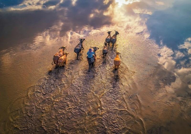 Đàn trâu băng qua đồng lũ trong buổi chiều ở Tân An, Long An.