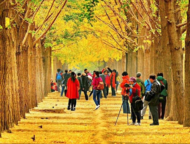 Ngoài đường cây phong, Nhật Bản cũng sở hữu những hàng cây ngân hạnh vàng rực thu hút du khách, công viên Meiji Jingu Gaien là điểm đến có đường cây ngân hạnh đẹp nổi tiếng giữa Thủ đô Tokyo
