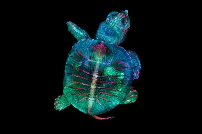 Bức ảnh huỳnh quang chụp phôi thai rùa đoạt giải cao nhất trong Cuộc thi Nhiếp ảnh Thế giới tí hon năm 2019 của Nikon. Hai nhà nghiên cứu Teresa Zgoda và Teresa Kugler đã sử dụng kính hiển vi lập thể để chụp hàng nghìn bức ảnh, sau đó tổng hợp chúng lại để tạo nên tác phẩm hoàn chỉnh.