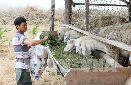 Mô hình nuôi cừu vỗ béo của nông dân xã Phước Trung, huyện Bác Ái cho hiệu quả kinh tế cao.