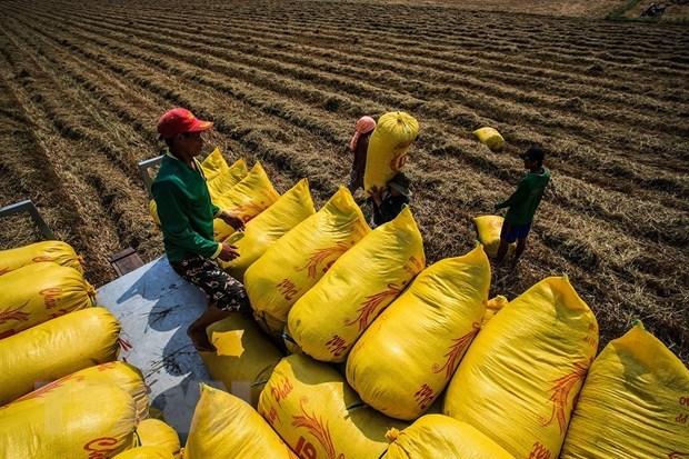 Nông dân tiến hành thu hoạch lúa. (Ảnh: Trọng Đạt/TTXVN)
