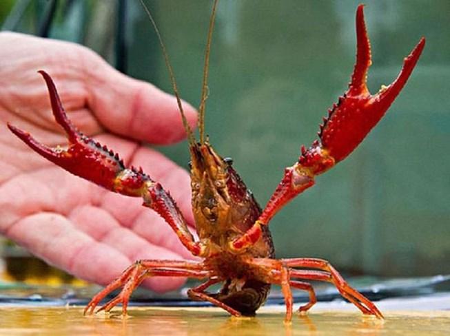 tôm càng đỏ Trung Quốc đã từng được Viện Nghiên cứu nuôi trồng thủy sản 1 nhập về nuôi thử nghiệm.