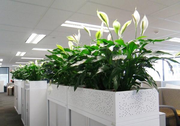 7 loại cây cảnh giúp môi trường làm việc hiệu quả hơn - Ảnh 7
