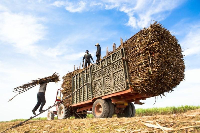Năng suất mía ở nhiều vùng của Việt Nam cao gấp 1,5 lần năng suất bình quân thế giới.