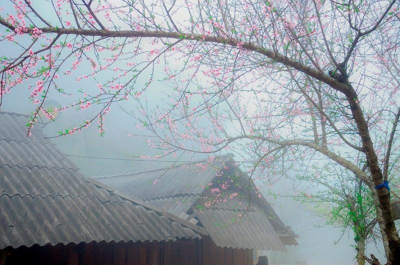Trong tiết trời se lạnh, sương giăng mù mịt, cũng không thể che lấp được sắc hồng của đào thắm đang bung nở trên các mái nhà.