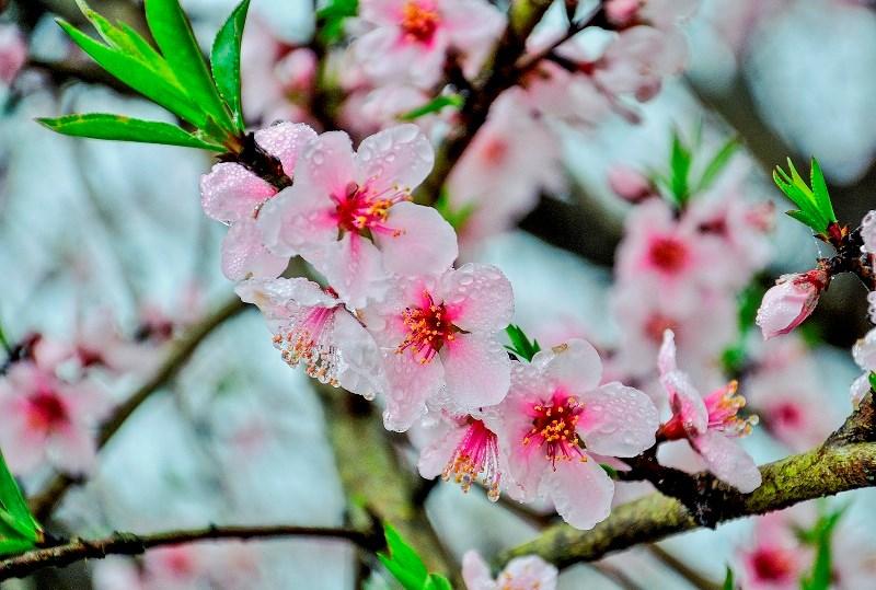 Những giọt sương ban mai long lanh khoe sắc cùng đào hồng.